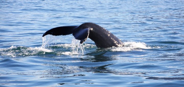 #Islande Aller à la rencontre des baleines à Husavik