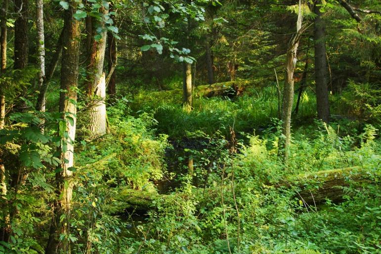 pologne parc bialowieza (5)
