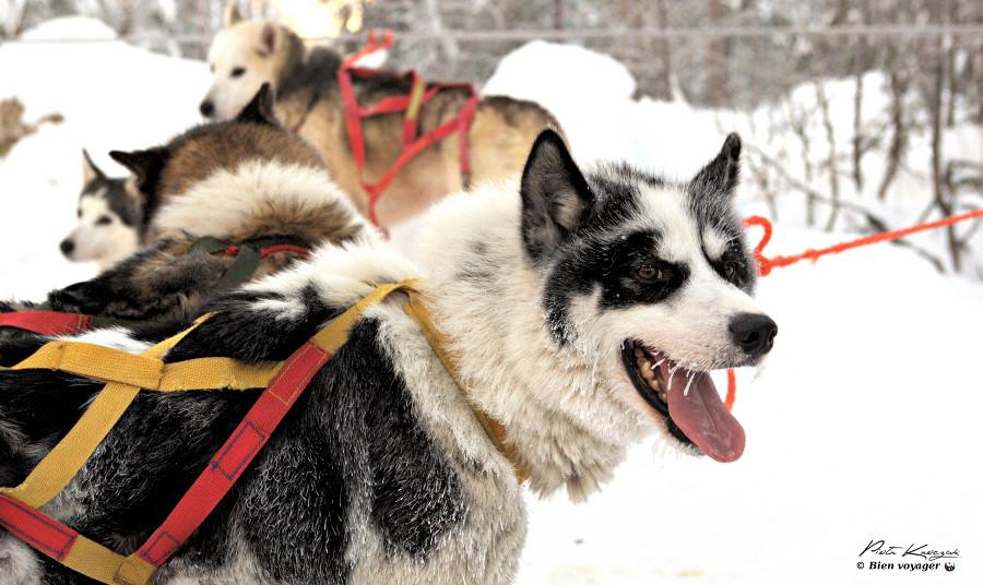 Rovaniemi-chien-traineau