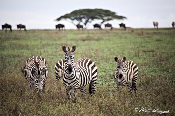 safari tanzanie zebre