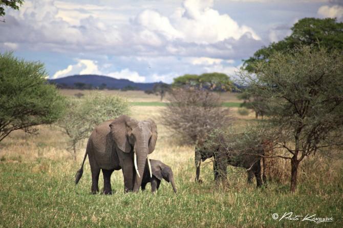 tanzania -elephant