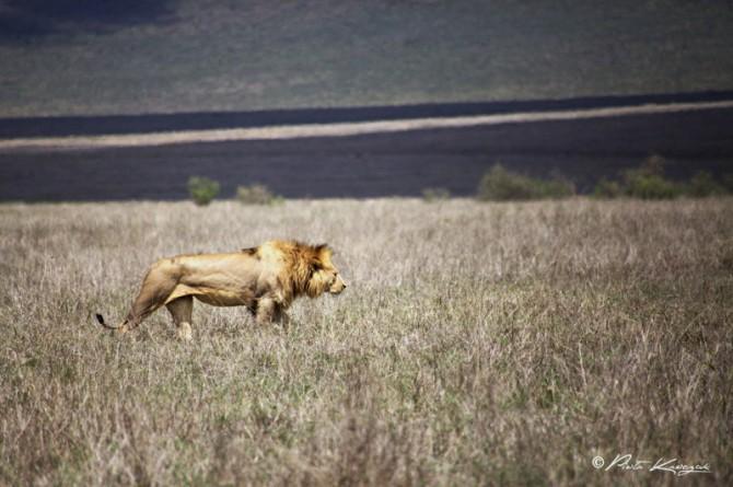 tanzania - lion