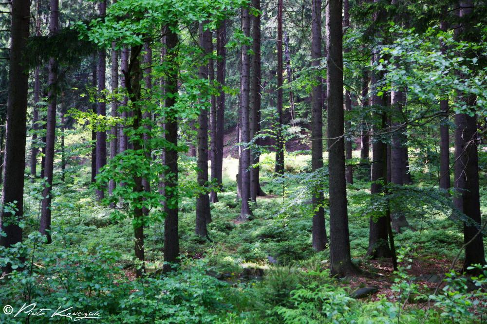 forêt polonaise karpacz
