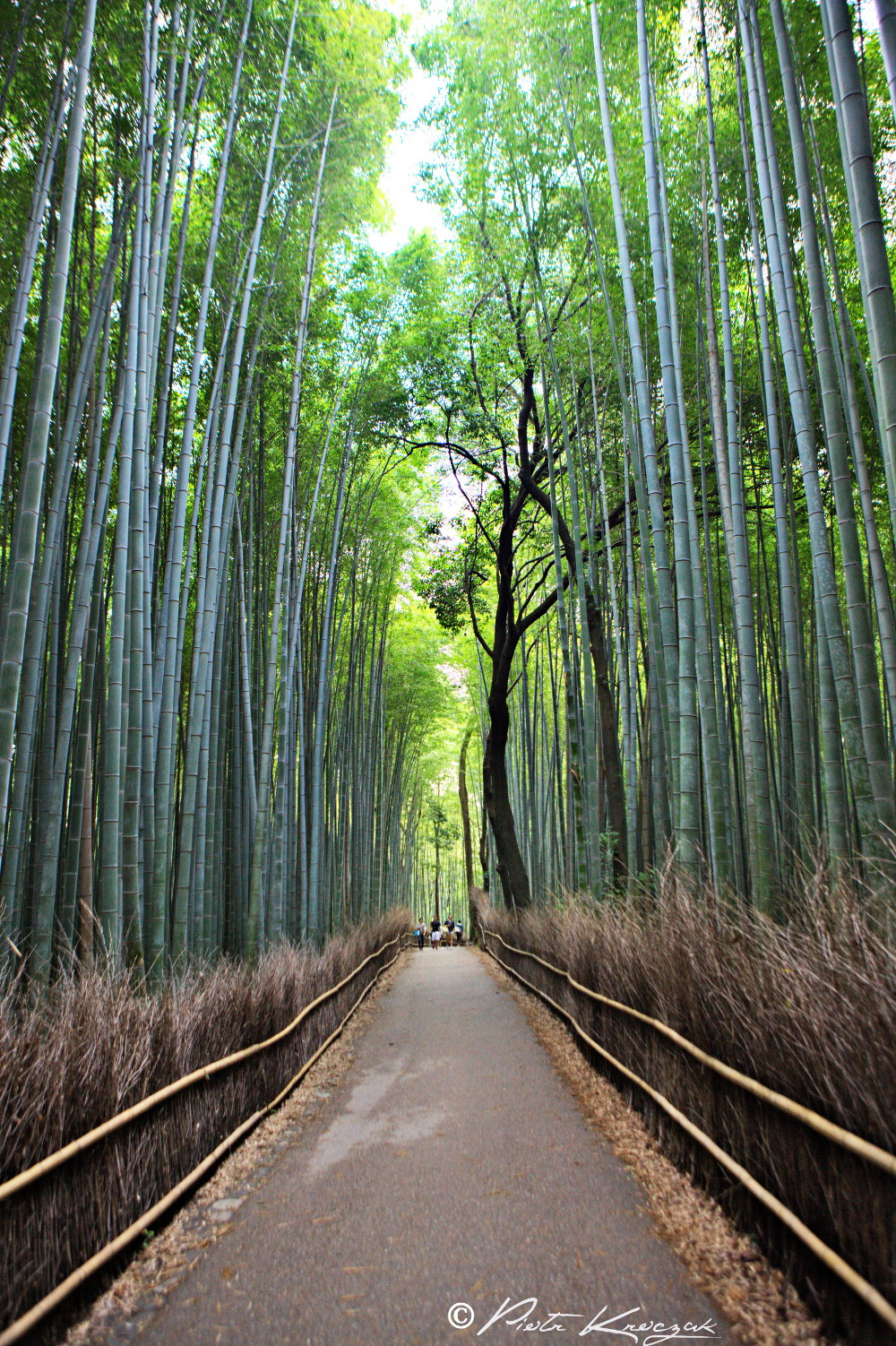 forêt bambous kyoto (3)