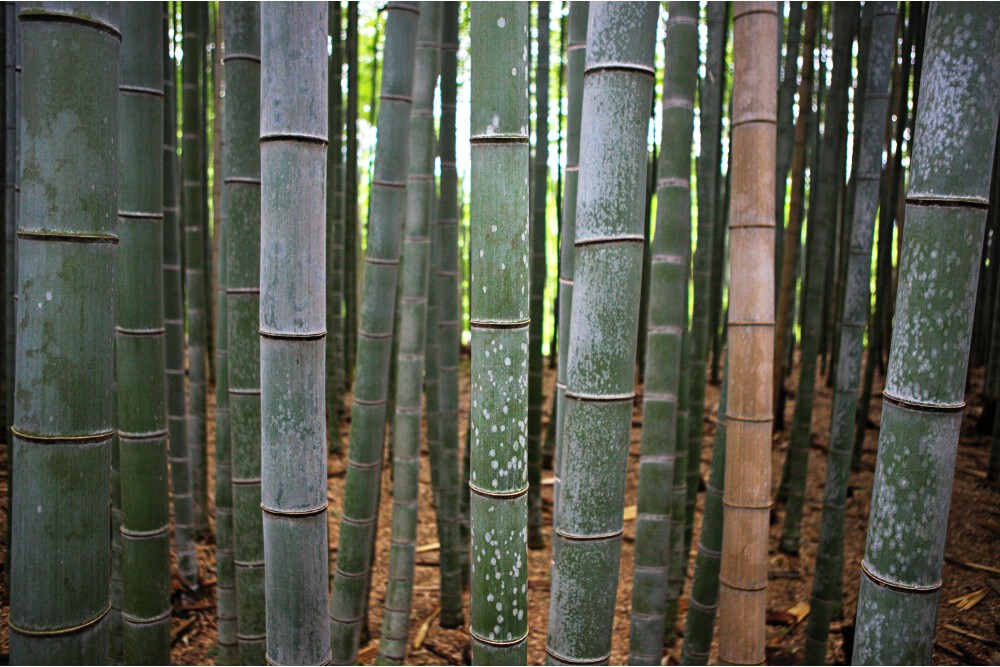 forêt bambous kyoto (4)