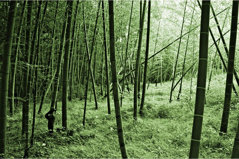 forêts bambous