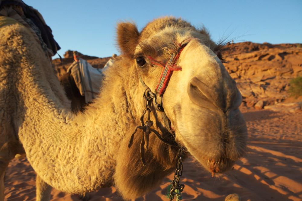 balade chameau désert (2)