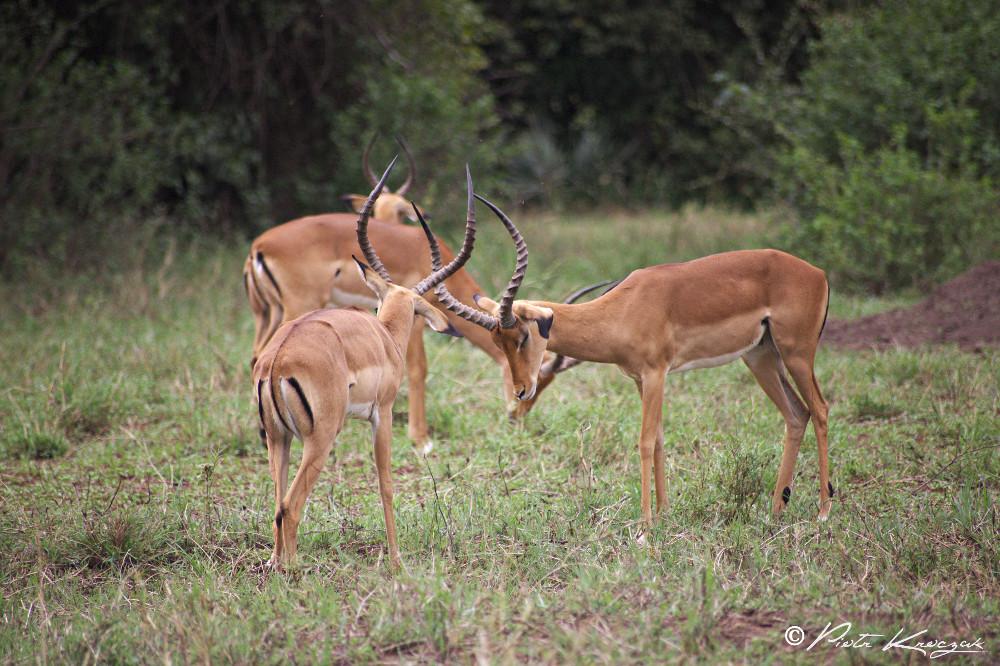 gazelle en tanzanie