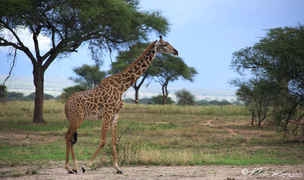 giraffe tanzanie