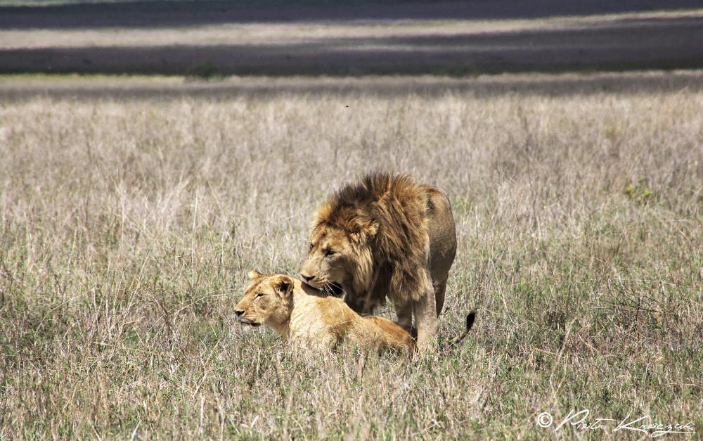 lio et lionne tanzanie