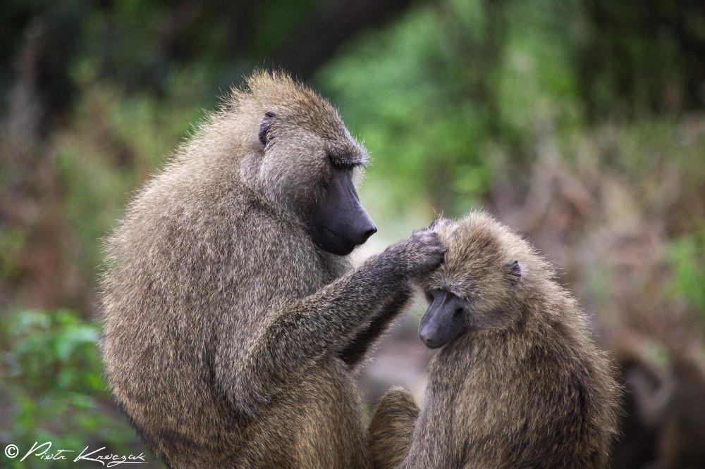 macaque tanzanie