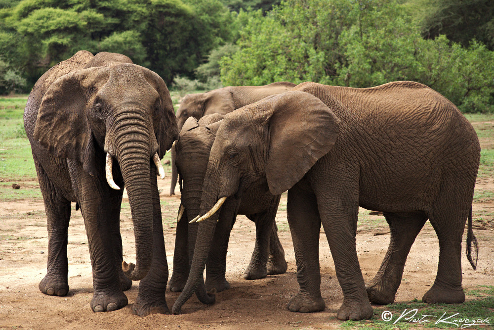 tanzanie - elephant