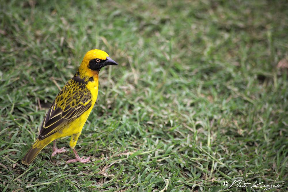 tanzanie- oiseau tisserand