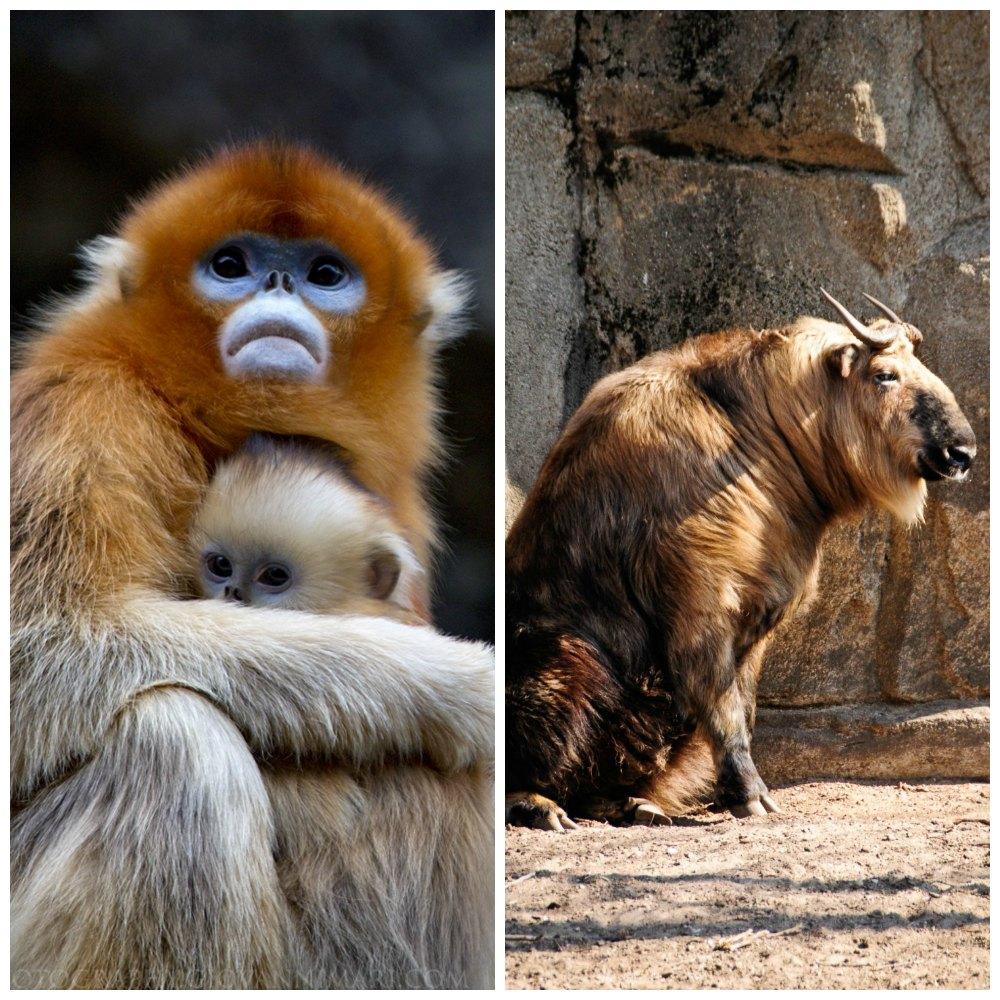 le singe doré à nez camus à gauche source et le takin du sichuan source