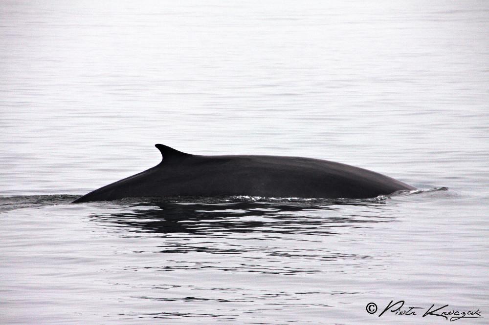 Cache cache avec les baleines de Tadoussac.