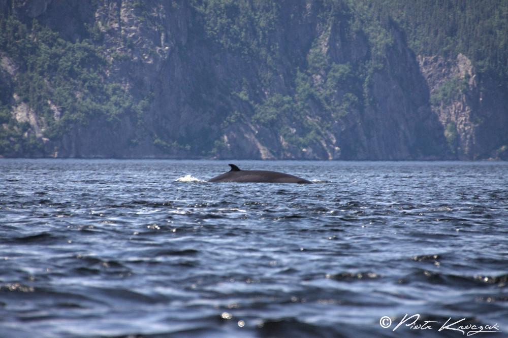 baleine tadoussac (3)