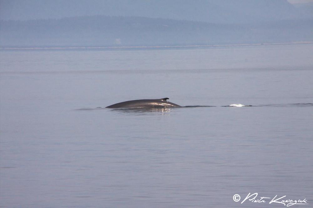 baleine tadoussac (8)