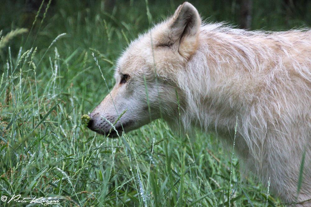 loups quebec (10)