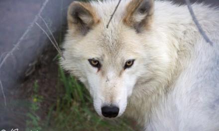 Québec – Ma rencontre avec les loups