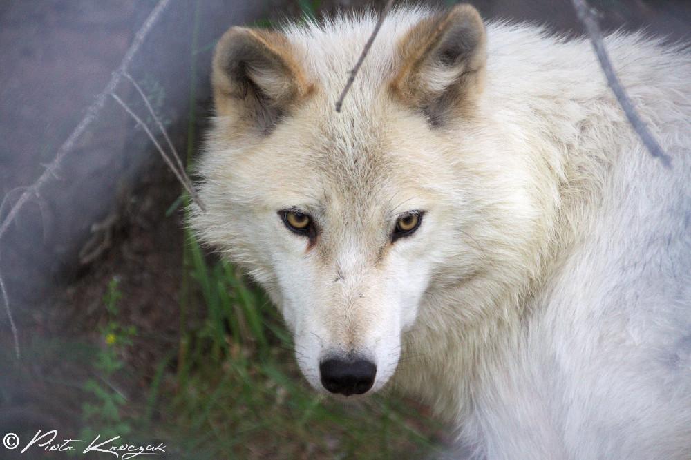 Québec - Ma rencontre avec les loups
