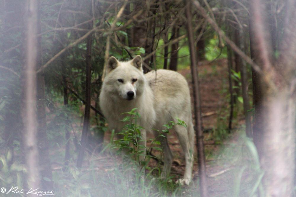 loups quebec (3)