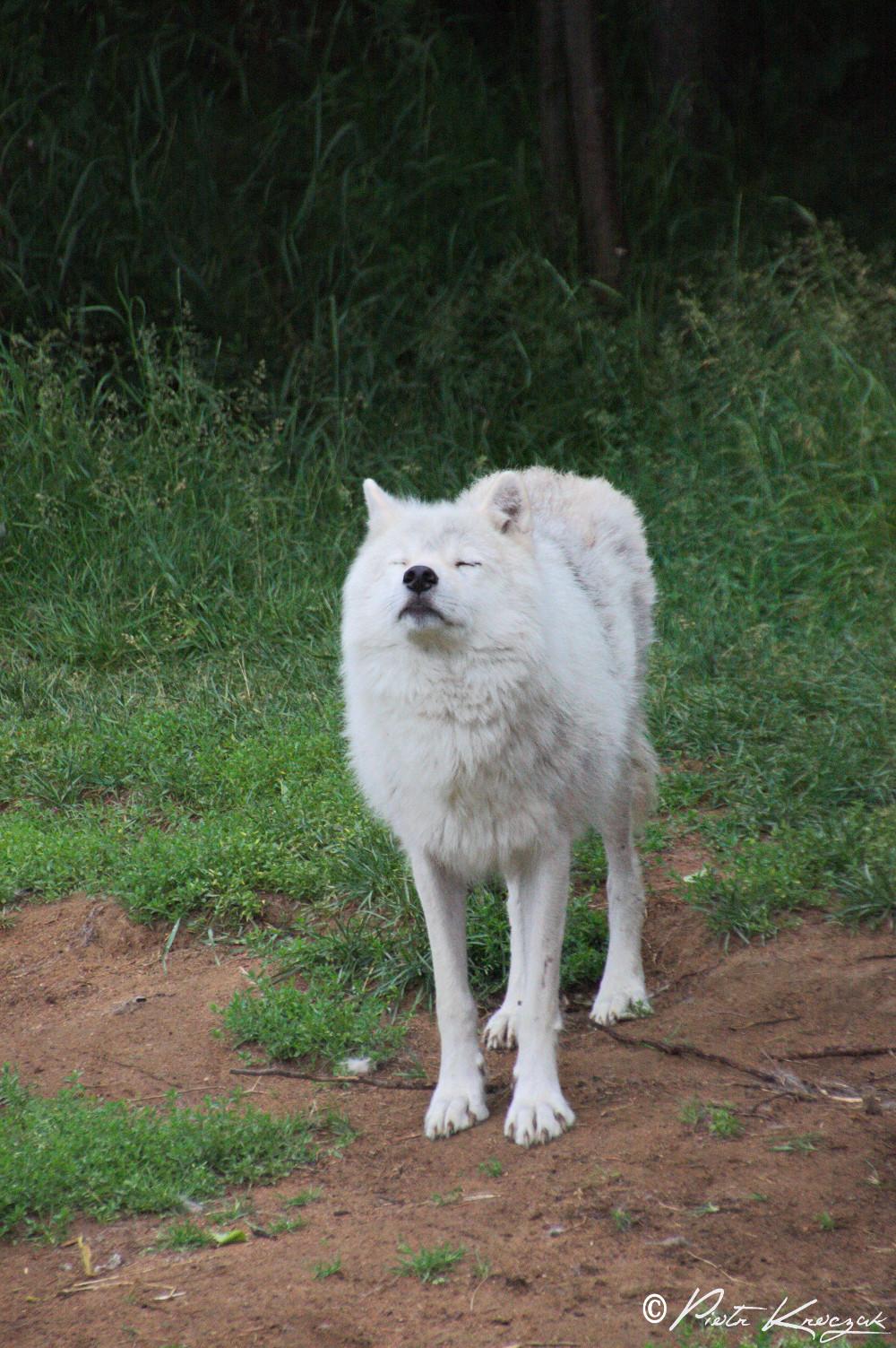 loups quebec (4)