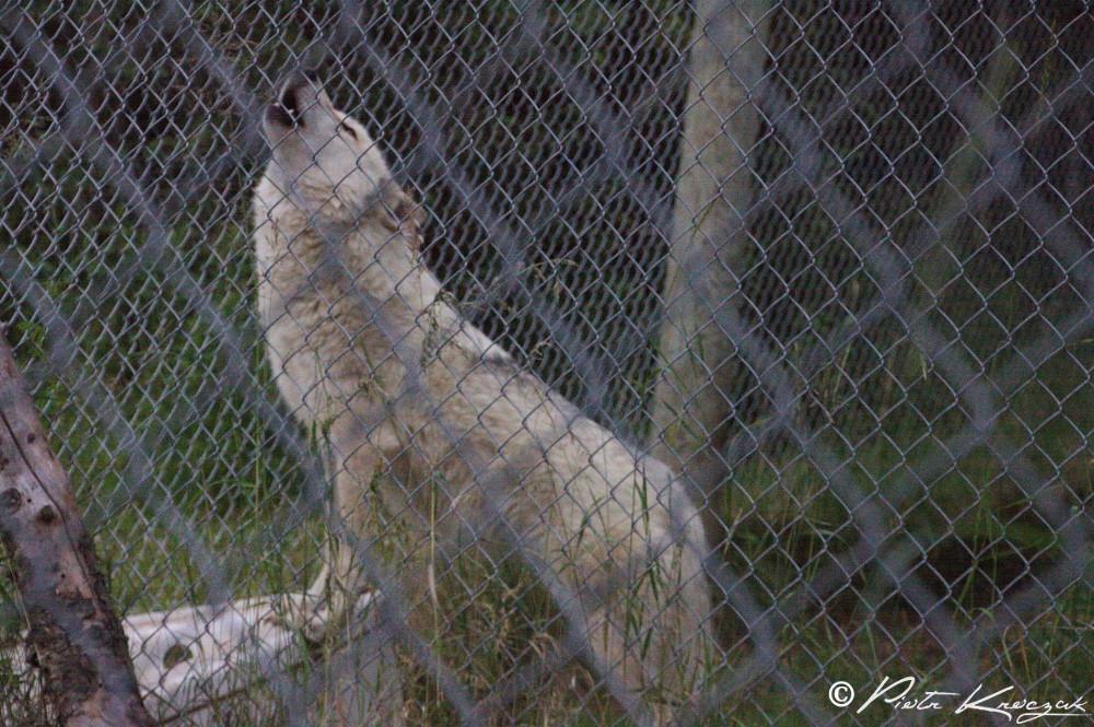 loups quebec (5)
