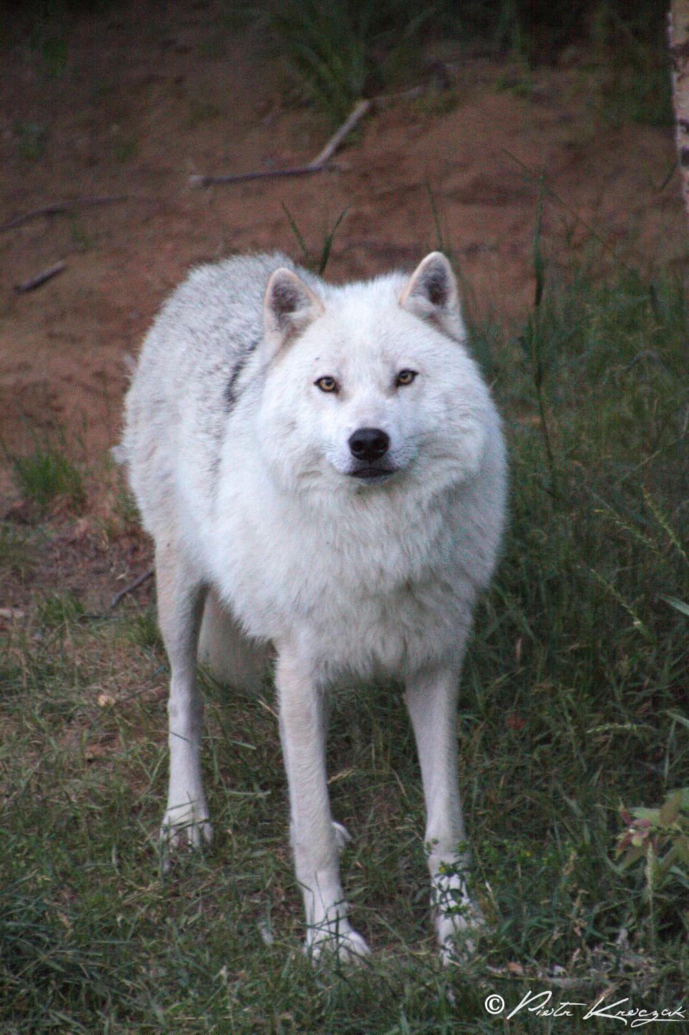 loups quebec (6)