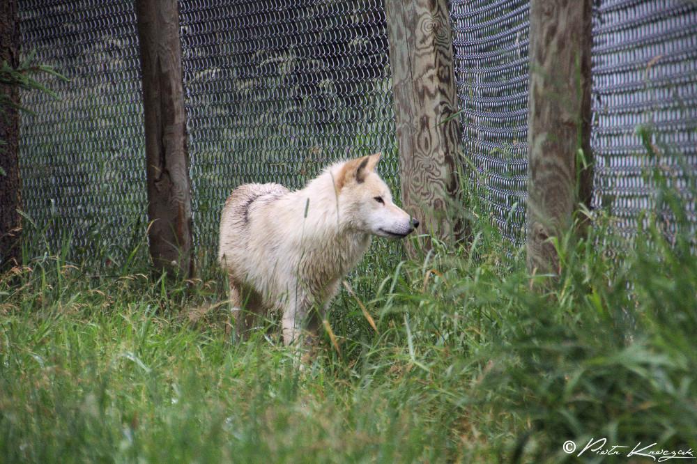 loups quebec (7)