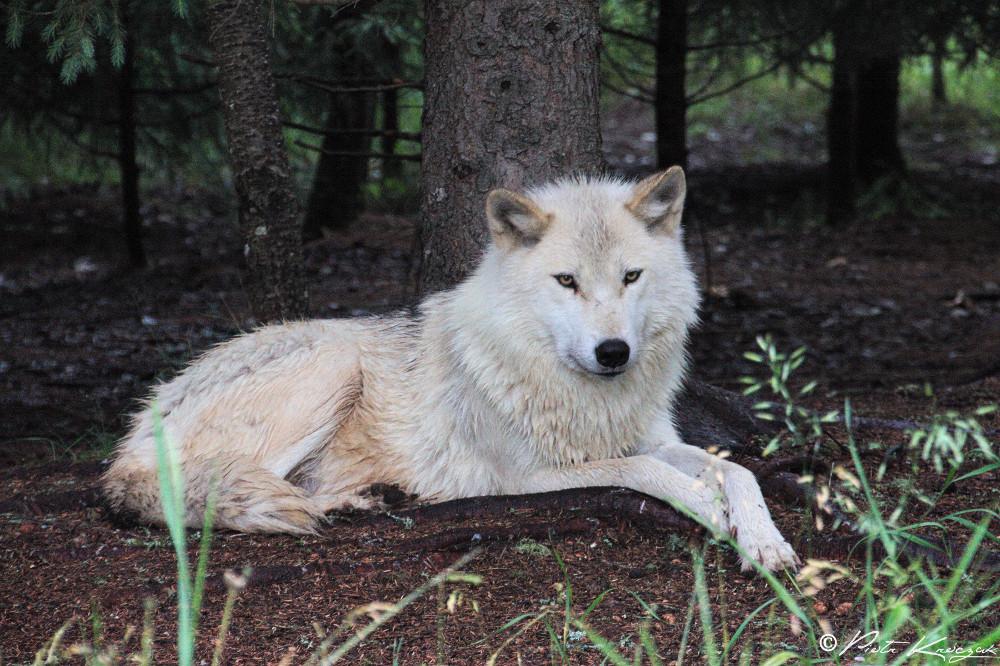 loups quebec (8)