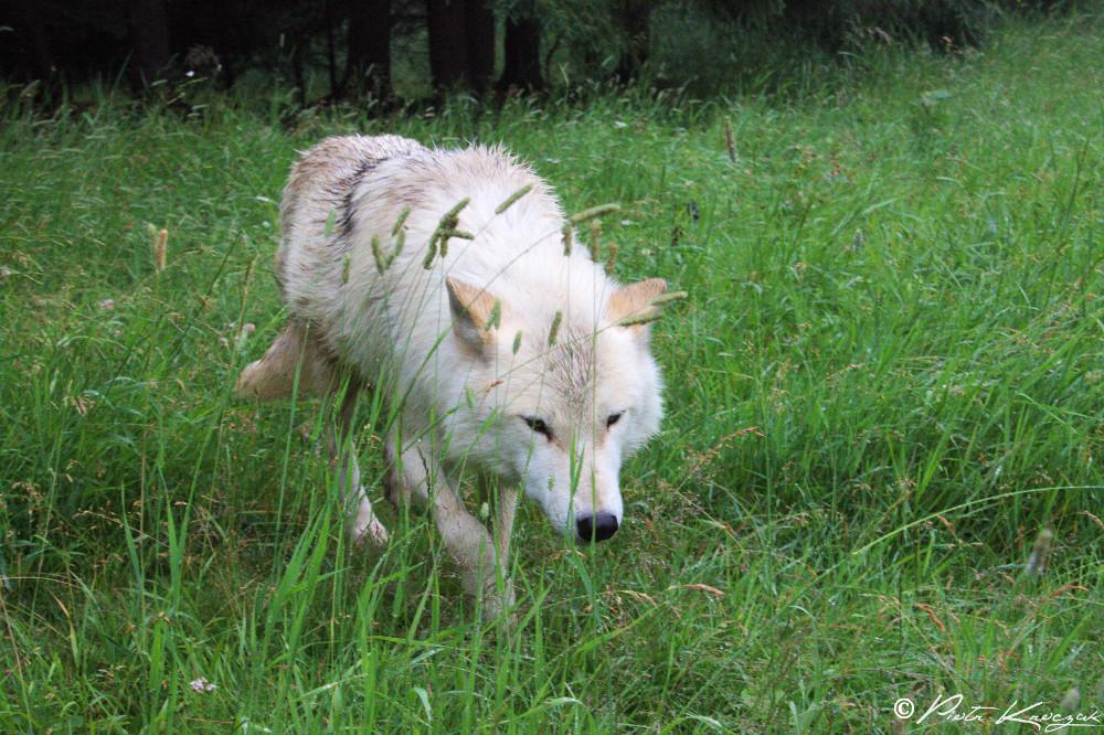 loups quebec (9)